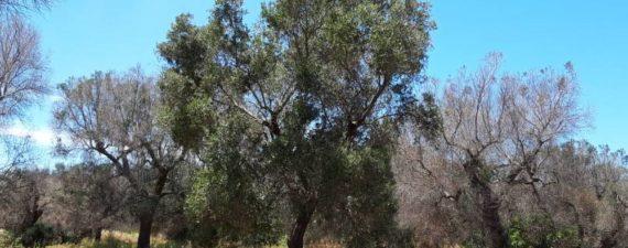 varietà di ulivi resistenti